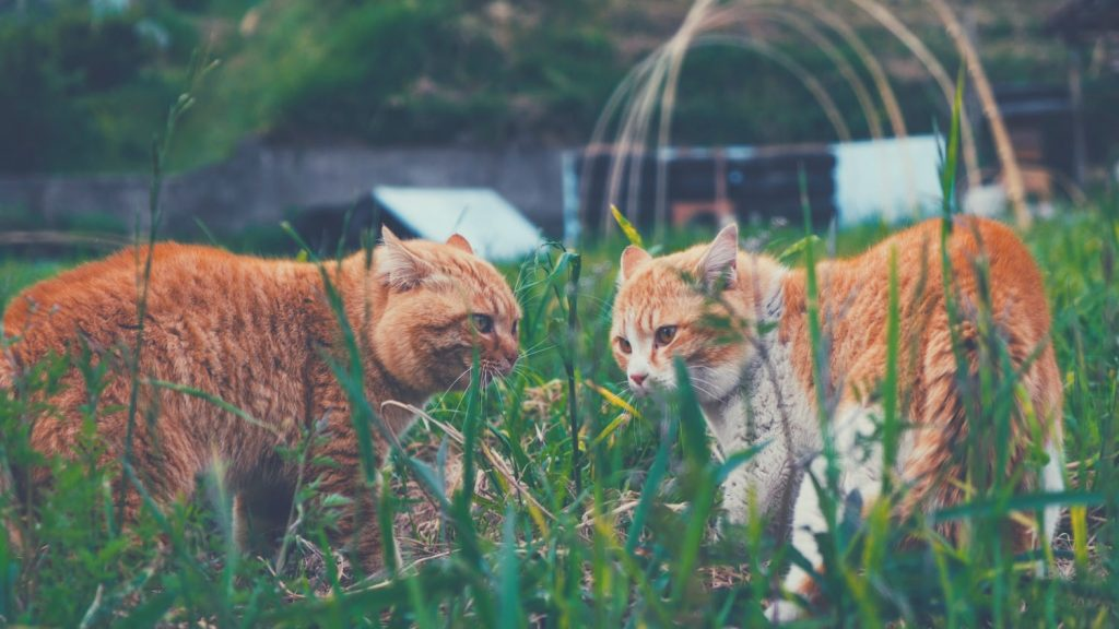 two ginger cats in the field with their ears flattened to the sides