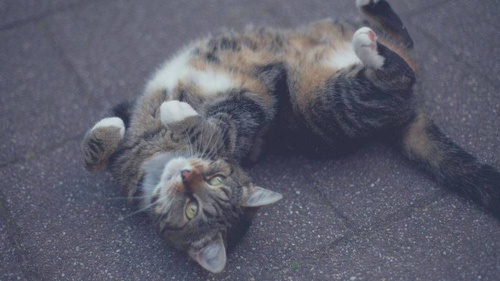 cat is sprawled out on its back