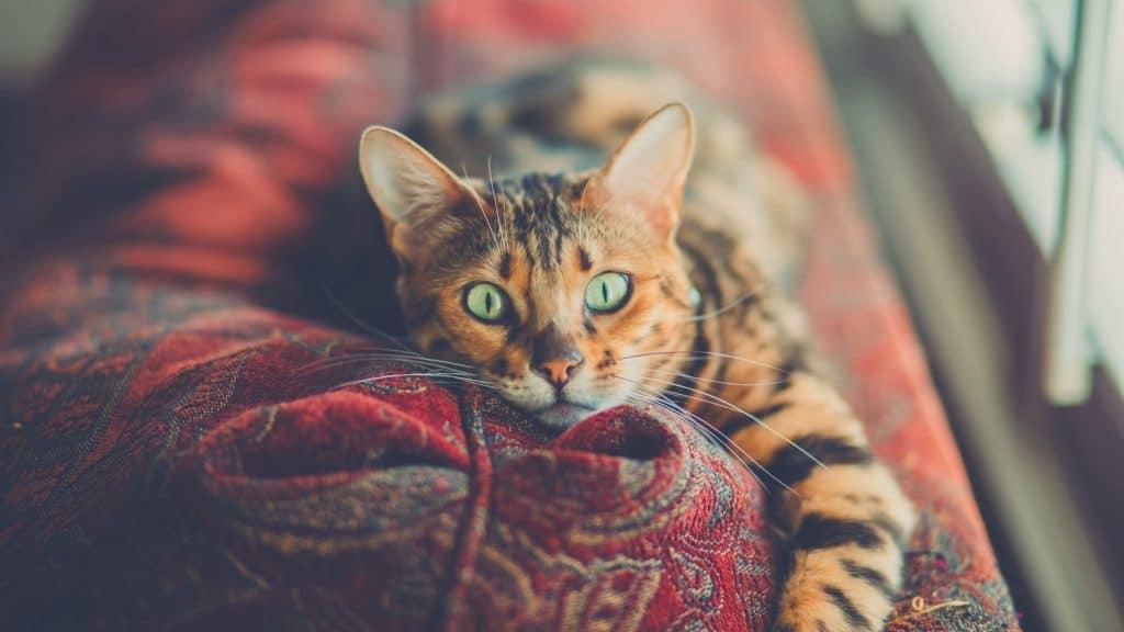 cat lies on a red carpet sofa copy
