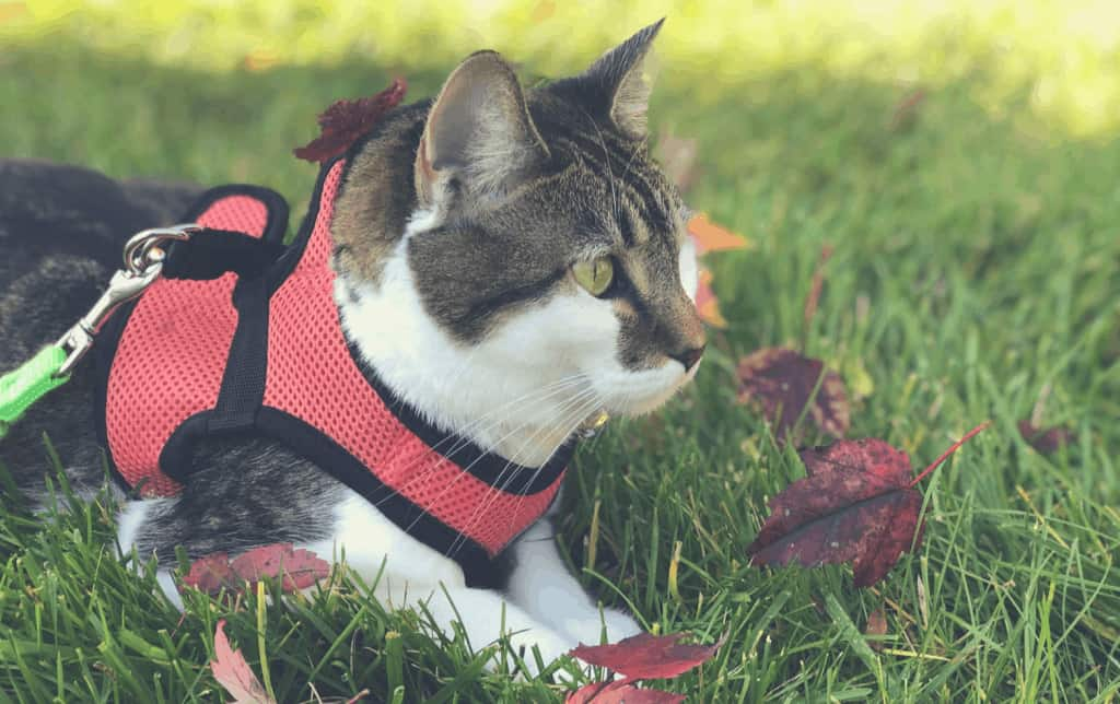 cat lying in the grass wearing harness no escape