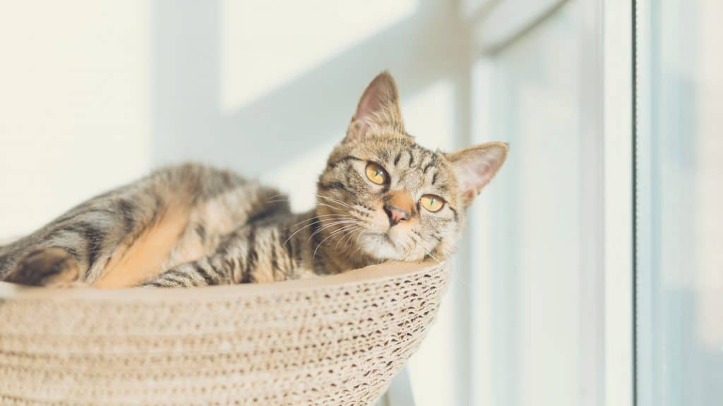 grey cat lies in round bed - Best Cat Litter Boxes for Small Apartments