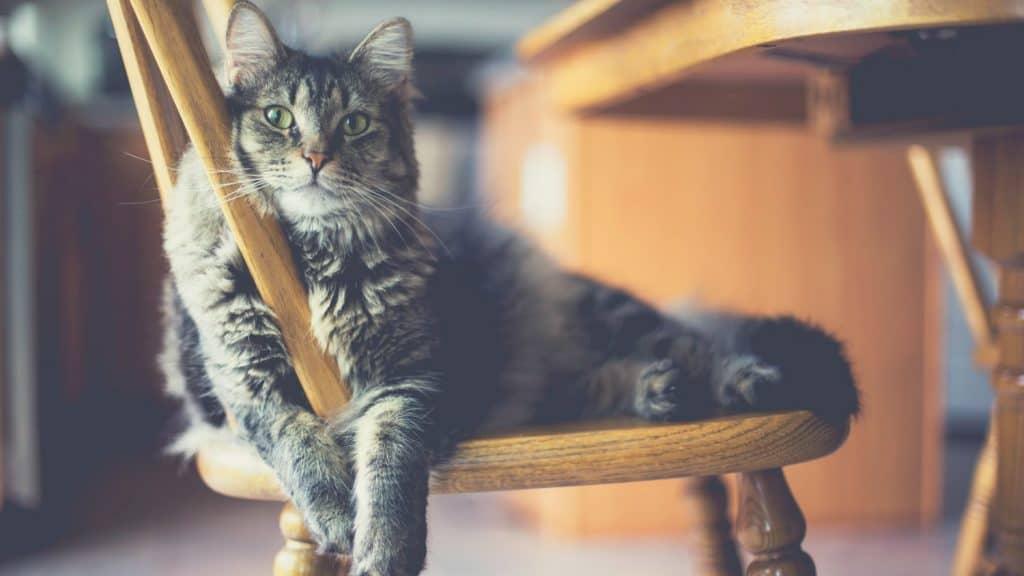 grey cat lies on a chair - best hypoallergenic cat litter