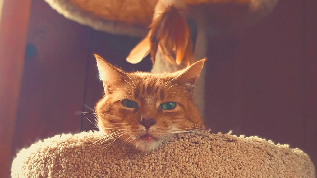red cat on a cat tree - best cat trees for large cats