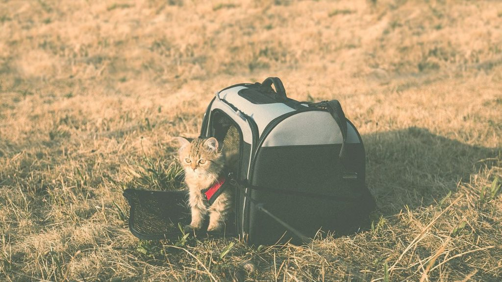 traveling cat sitting in the carrier