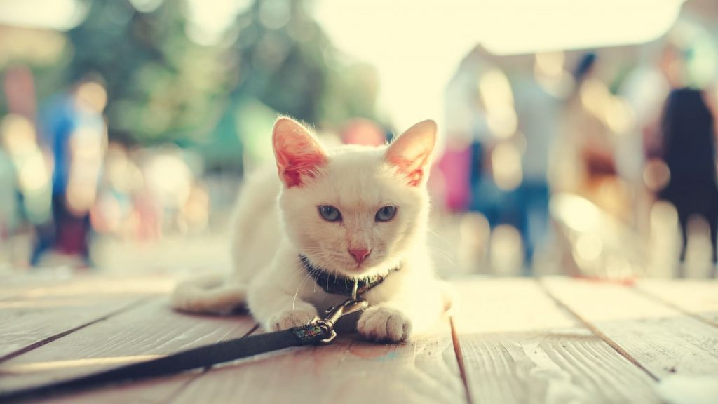 white cat one a leash traveling