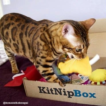 bengal cat playing with toys from kitnipbox