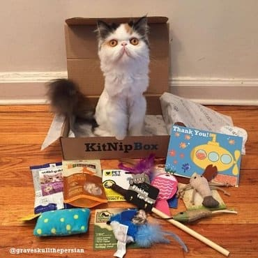 persian cat is sitting in kitnipbox